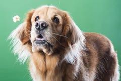 Golden retrieverhond die popcorn proberen te vangen stock fotografie