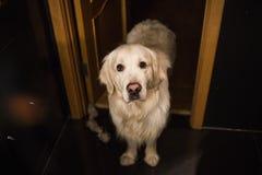 Golden retrieverhond die zich in een badkamers bevinden die camera bekijken Stock Fotografie