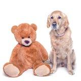 Golden retrieverhond en zijn teddybeer stock fotografie