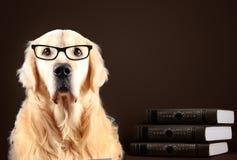Golden retrieverhond in glazen die op zwarte achtergrond met boeken zitten stock foto