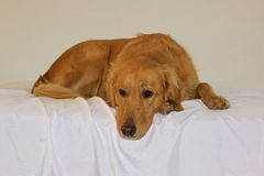 Golden retrieverhond het leggen Stock Foto