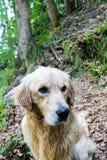 Golden retrieverhond het spelen in een bergbos Royalty-vrije Stock Fotografie