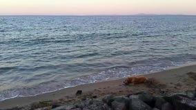 Golden retrieverhond op het strand stock videobeelden