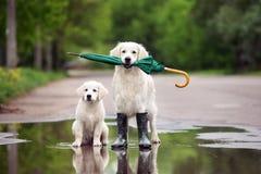 Golden retrieverhonden in regenlaarzen die een paraplu houden stock afbeeldingen