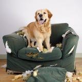 Golden retrieverhund demoliert Stuhl Lizenzfreie Stockfotos