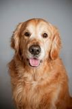 Golden retrieverhundeporträt Stockfoto
