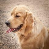 Golden retrieverhund i profilsammanträde på en bana med tungOu Arkivbilder