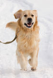 Golden retrieverhund i show Royaltyfria Foton