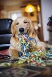 Golden retrieverhund med banderoller i den hemmastadda celebraen för mun Royaltyfria Foton
