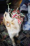 Golden retrieverhund med banderoller i den hemmastadda celebraen för mun Royaltyfria Bilder