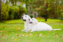 Golden retrieverhund med en valp fotografering för bildbyråer