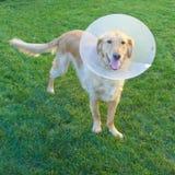 Golden retrieverhund med kotten Royaltyfri Bild