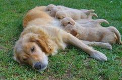 Golden retrieverhund med valpar Fotografering för Bildbyråer