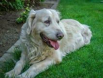 Golden retrieverhund som lägger i gräset Arkivfoton