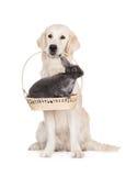 Golden retrieverhund som rymmer en kanin i en korg arkivfoto
