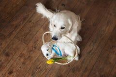Golden retrieverhund som rymmer en korg med valpen Royaltyfria Foton