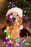 Golden retrieverhund som slås in i färgrika julljus royaltyfri foto