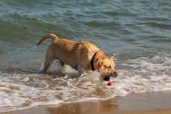 Golden retrieverhund som spelar och har gyckel i havet Royaltyfri Foto