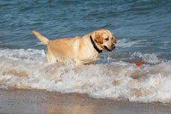 Golden retrieverhund som spelar och har gyckel i havsvattnet Arkivbild