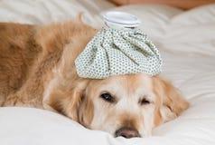 Golden retrieverhundförkylning royaltyfri bild