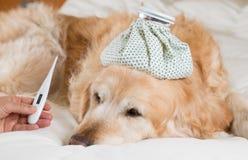 Golden retrieverhundförkylning arkivbild