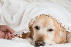 Golden retrieverhundförkylning arkivbilder