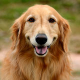 Golden retrieverhundframsida Royaltyfri Bild
