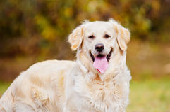 Golden retrieverhundstående Royaltyfri Bild