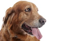 Golden retrieverportret - mooi huisdier stock fotografie
