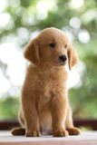 Golden retrieverpuppy Stock Foto