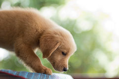 Golden retrieverpuppy Stock Afbeelding