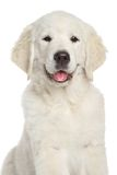 Golden retrieverpuppy, close-up op witte achtergrond Royalty-vrije Stock Foto
