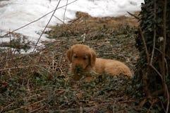 Golden retrieverpuppy in de winter stock afbeelding