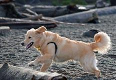 Golden retrieverpuppy op het Hondstrand Royalty-vrije Stock Fotografie