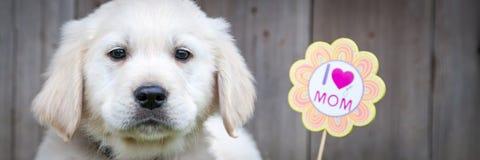 Golden retrieverpuppy op Moedersdag royalty-vrije stock foto's