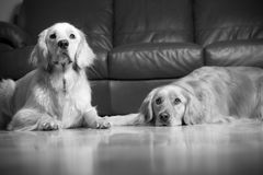 Golden Retrievers Stock Photo