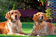 Golden Retrievers Stock Images