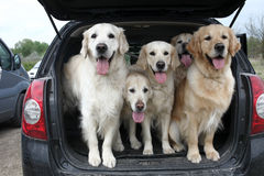 Golden Retrievers Royalty Free Stock Photo
