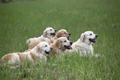 Golden Retrievers Stock Photos
