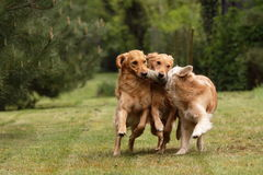 Golden retrievers playing Royalty Free Stock Photo