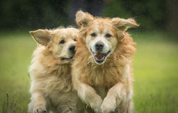 Golden Retrievers Playing Stock Images