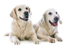 Golden retrievers Stock Photography