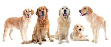 Golden retrievers Royalty Free Stock Photography
