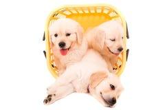 Golden Retrievers Stock Photos