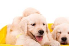 Golden Retrievers Stock Images