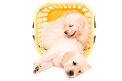 Golden Retrievers Royalty Free Stock Image