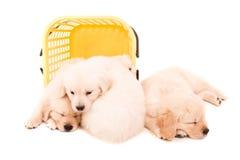 Golden Retrievers Stock Photo