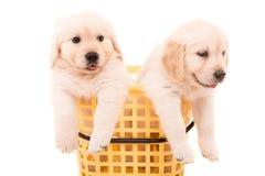 Golden Retrievers Stock Image
