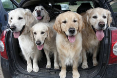 Golden Retrievers. In the trunk Stock Photo