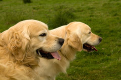 Golden Retrievers watching Stock Image